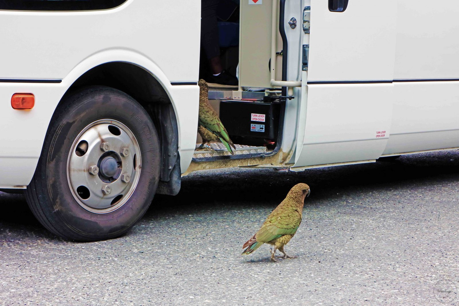 Have you seen a Kea in Milford Sound